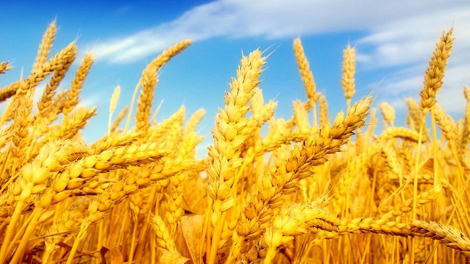 گندم-کشاورزی-تولید و صادرات روسیه